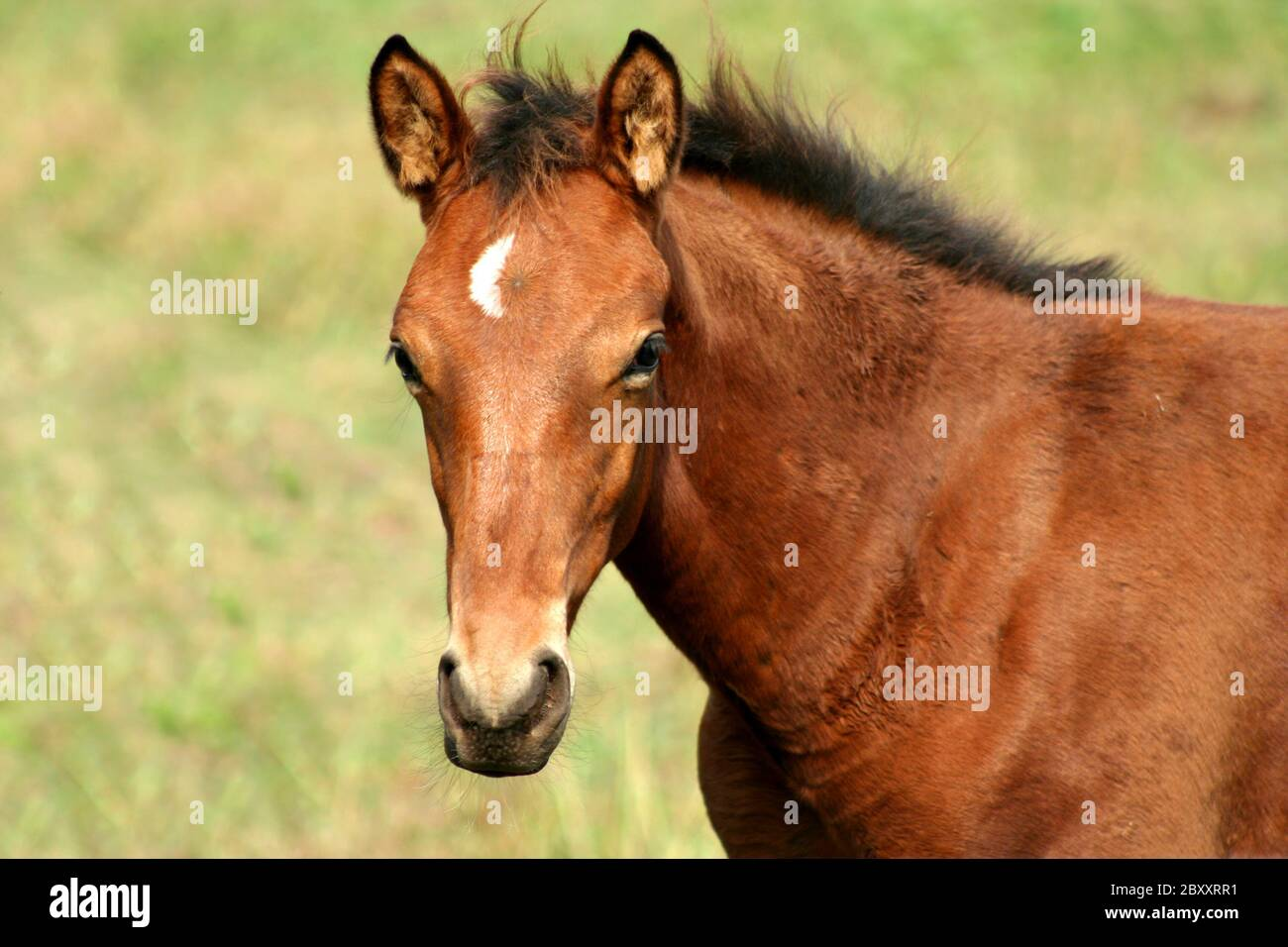 A Brown Baby Horse In A Field Stock Photo Alamy