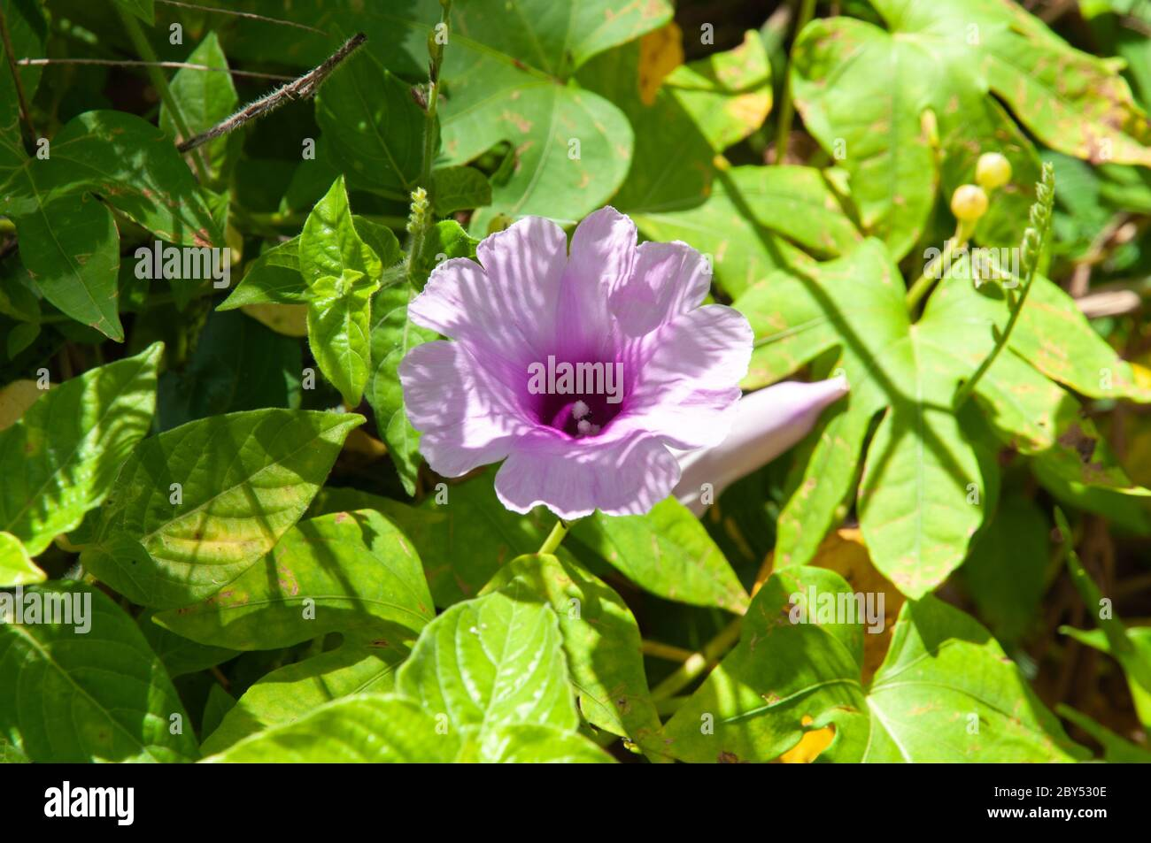 Beautiful pink single tropical flower Forest Morning Glory (Ipomoea mauritiana) Stock Photo