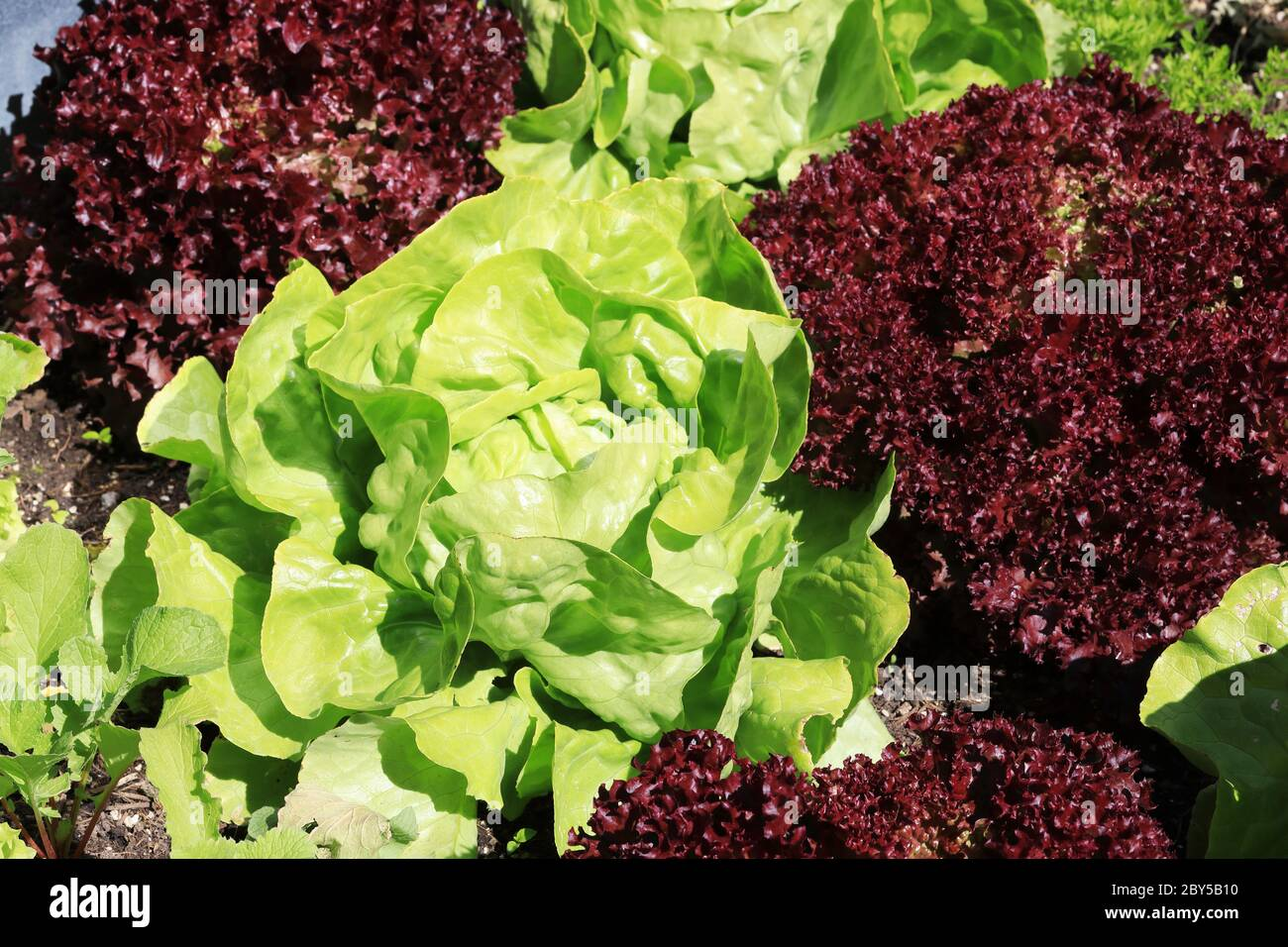 Organic lettuce and lollo rossa salad growing together in the garden Stock Photo