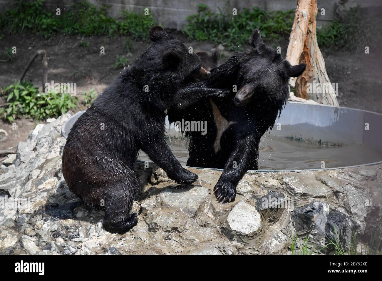 Vladivostok, Russia. 9th June, 2020. Asian black bears play in the Sadgorod Zoo during the pandemic of the novel coronavirus disease (COVID-19). On 6 June, open air zoos re-opened in Vladivostok after two months of being closed. The Primorye Territory, including Vladivostok, has been in lockdown since 31 March. Lockdown restrictions have been eased since 26 May. Credit: Yuri Smityuk/TASS/Alamy Live News Stock Photo