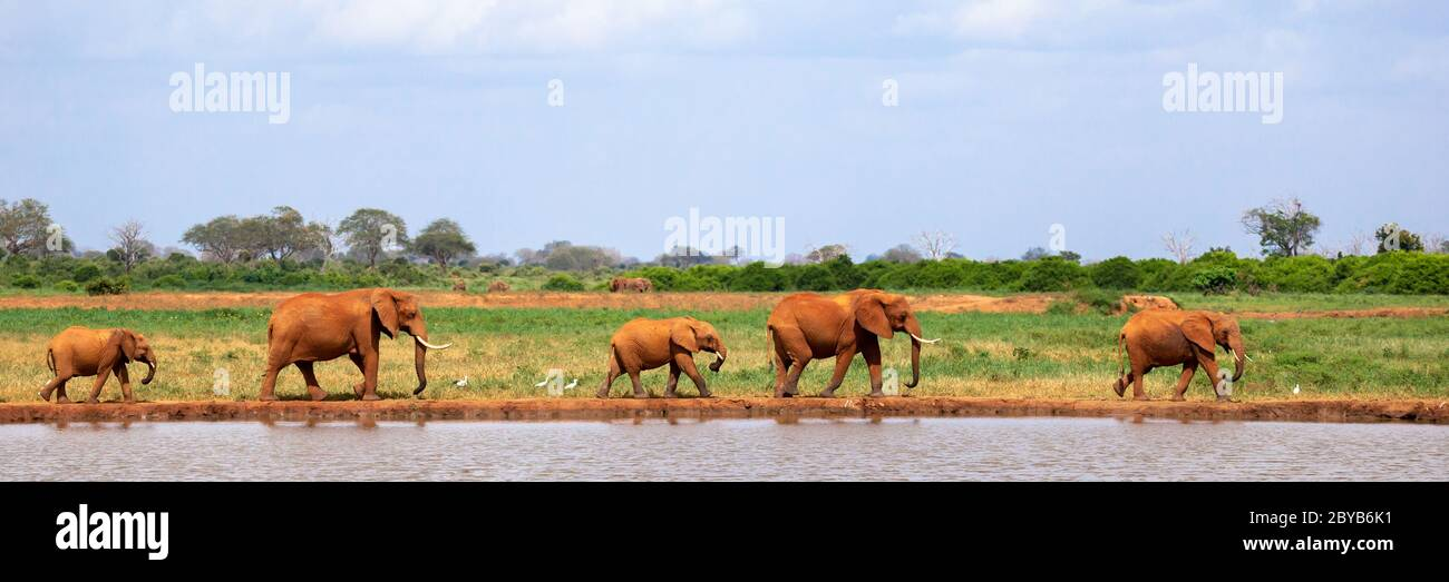 Some elephants are on the waterhole in the savannah Stock Photo