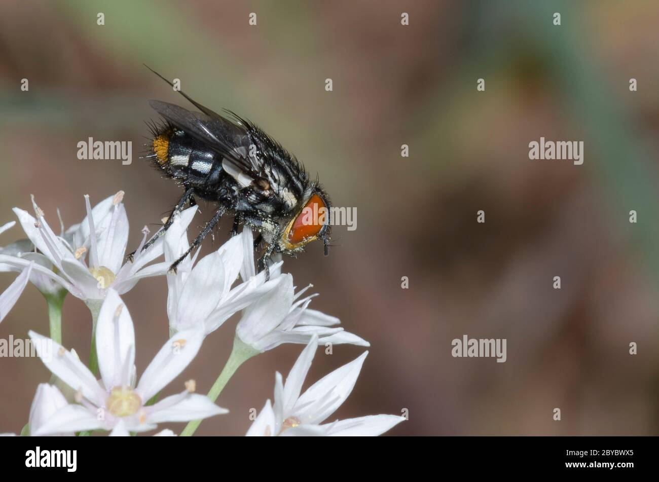 Tachinid Fly, Atacta brasiliensis, male foraging on Meadow Garlic, Allium canadense Stock Photo