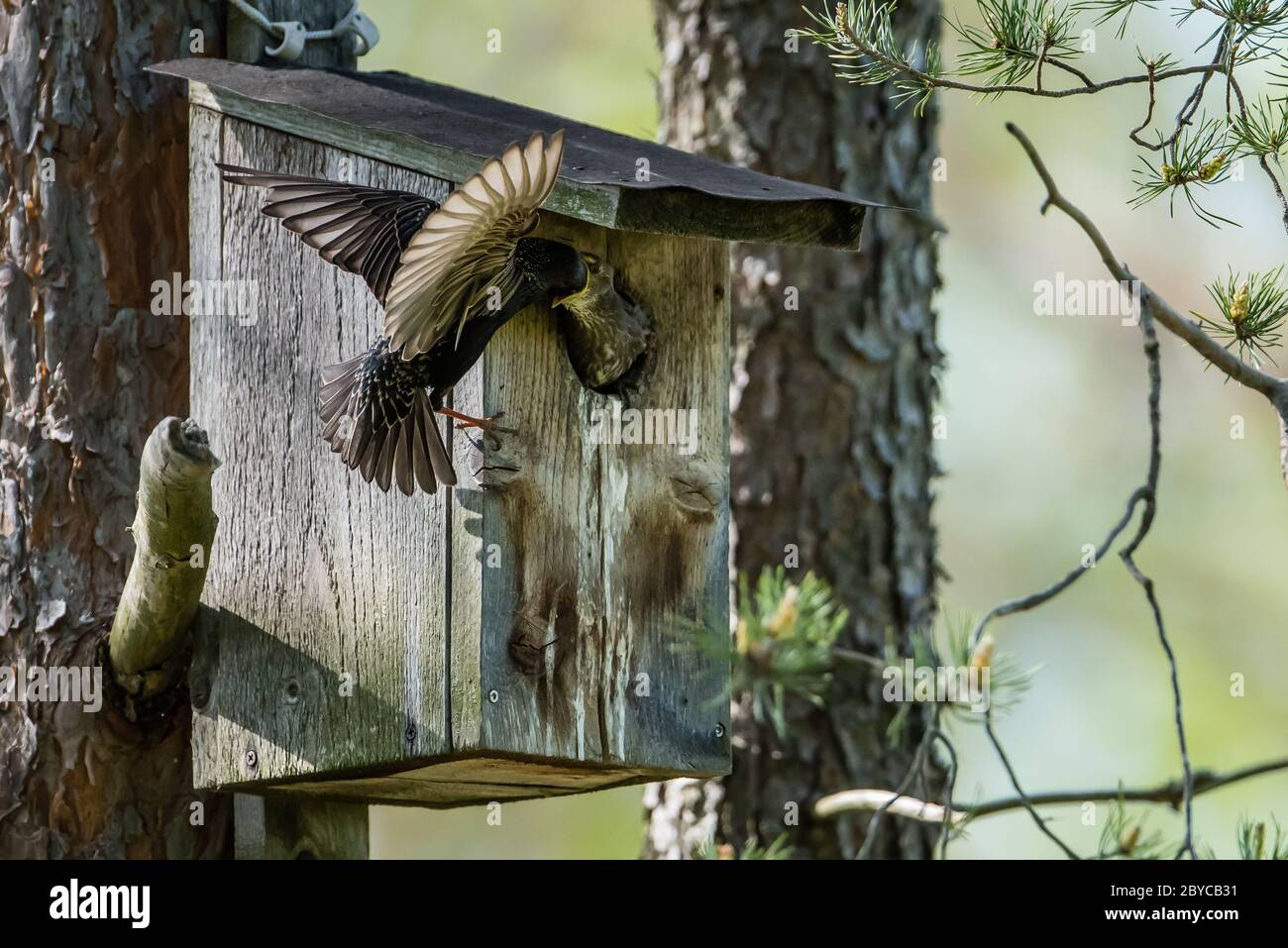The beautiful common starling (Sturnus vulgaris) feed the nestling deep in the throat at the nest box in Uppland, Sweden Stock Photo