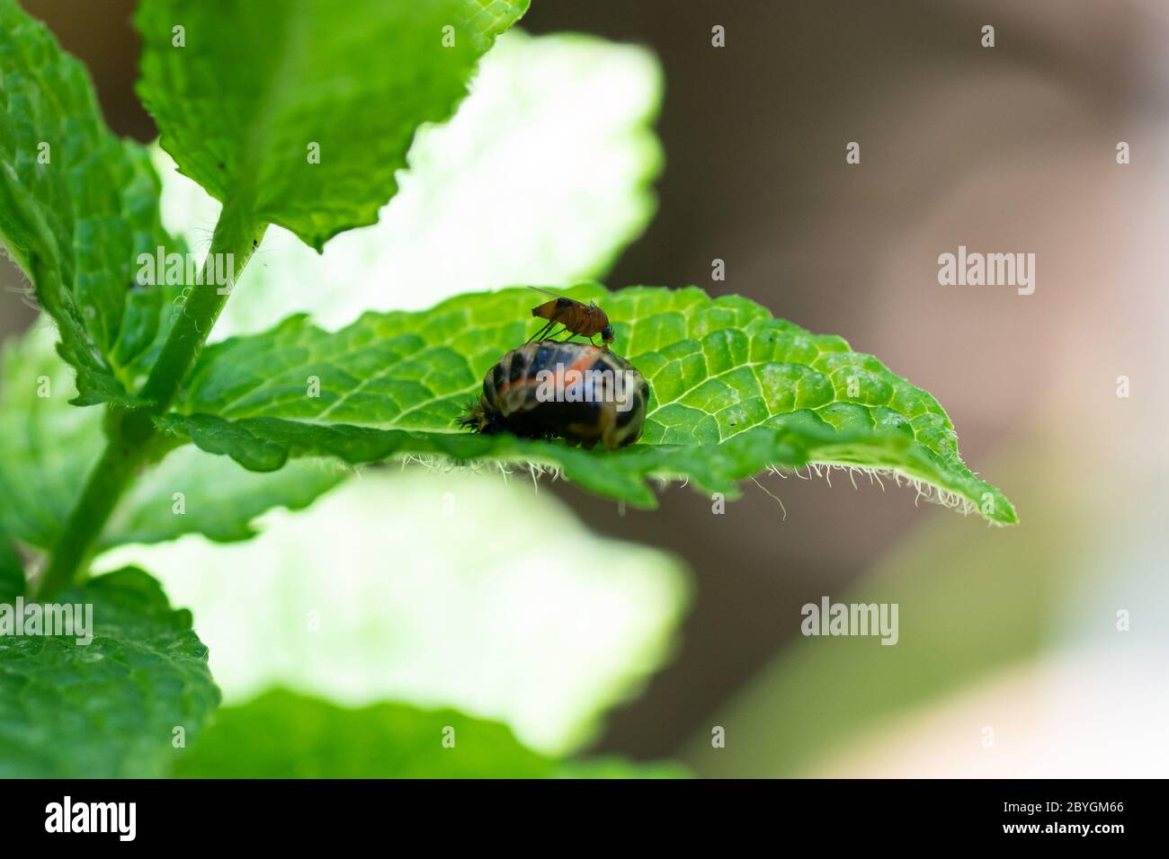 Pupation of a ladybug on a mint leaf in spring with a mosquito on it. Macro shot of living insect. Series image 8 of 9 Stock Photo