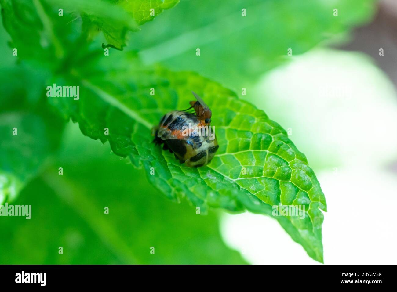 Pupation of a ladybug on a mint leaf in spring with a mosquito on it. Macro shot of living insect. Series image 7 of 9 Stock Photo