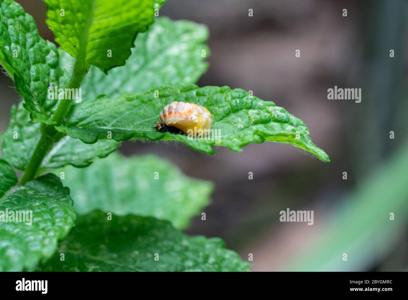 Pupation of a ladybug on a mint leaf in spring. Macro shot of living insect. Series image 5 of 9 Stock Photo