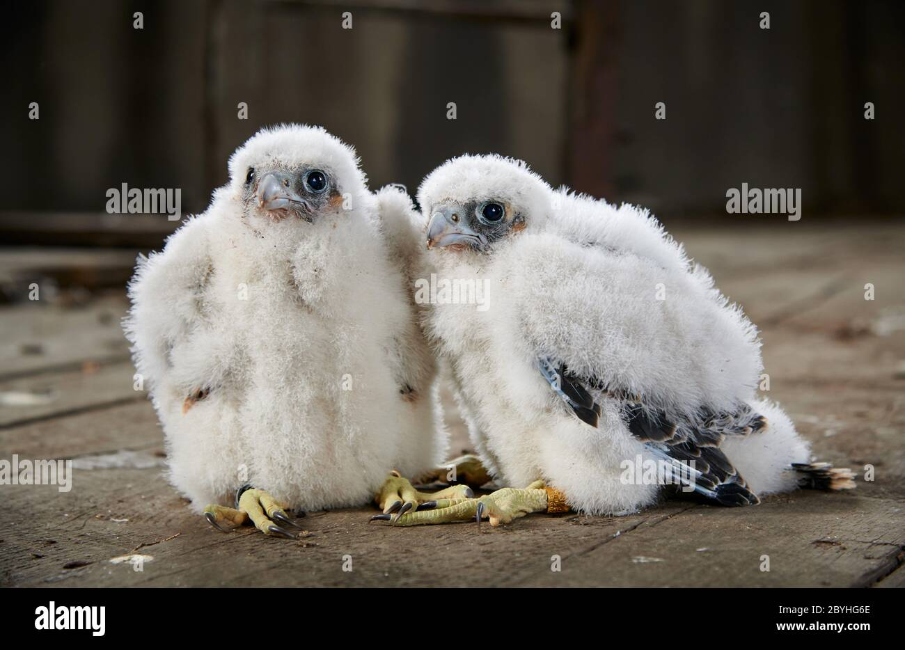 two Peregrine Falcon chicks (Falco peregrinus) after ringing, Heinsberg, North Rhine-Westphalia, Germany Stock Photo