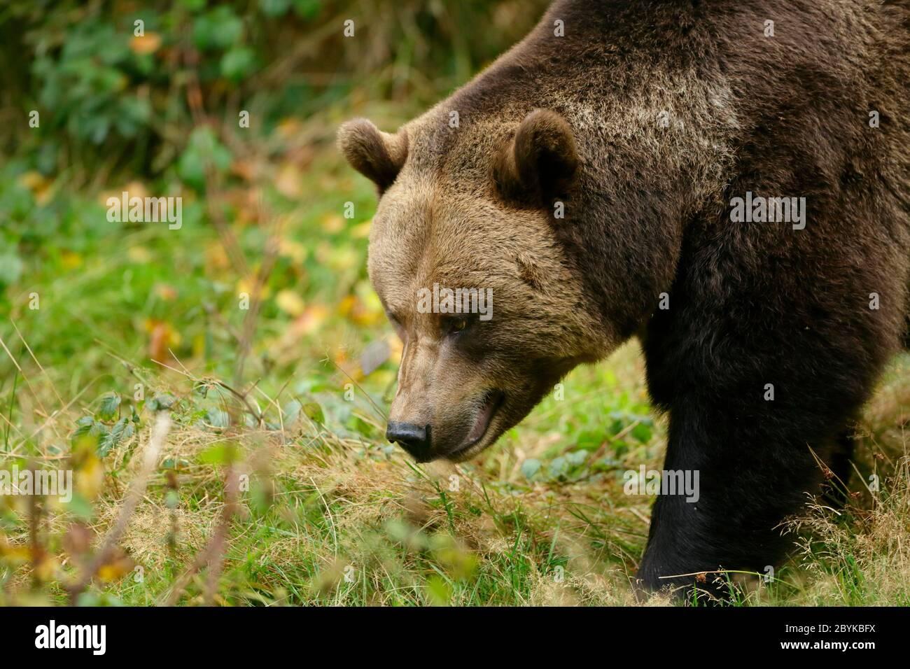 Brown Bear (Ursus arctos) in the forest of Tier-Freigelände, Bayerischer Wald National Park, Baviera, Germany, October Stock Photo