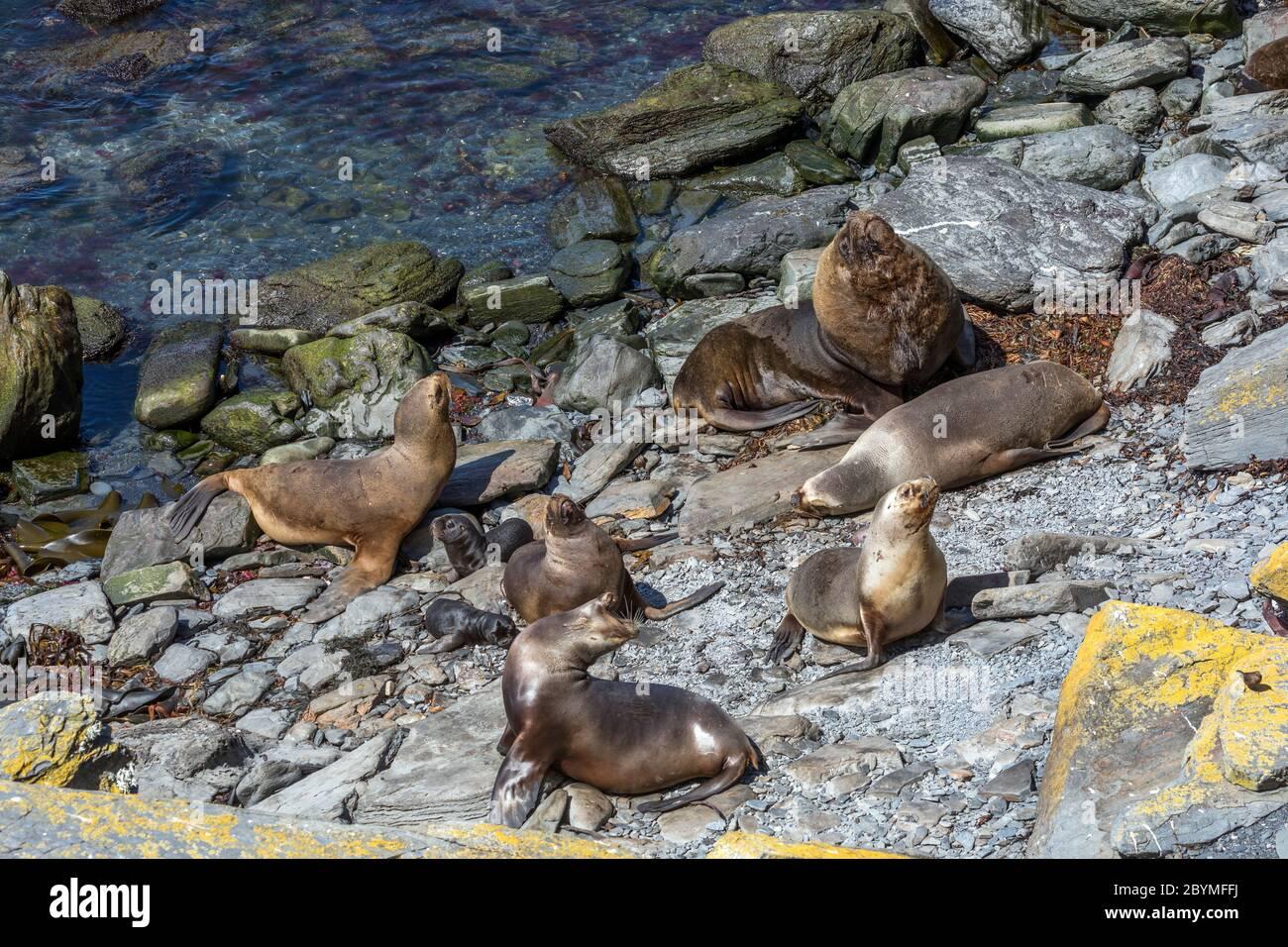 Southern Sea Lion; Otaria flavescens; Beach on Sea Lion Island; Falklands Stock Photo