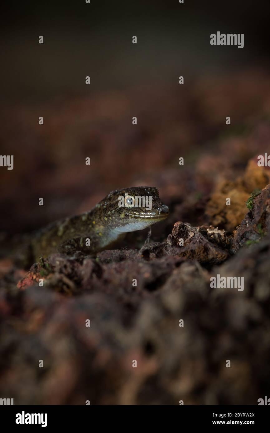 Day Gecko or Dwarf Gecko, Cnemaspis species, Satara, Maharashtra, India Stock Photo
