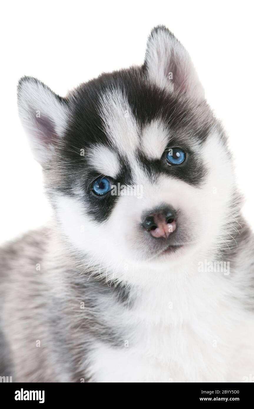 Siberian Husky Puppy With Blue Eyes Isolated Stock Photo Alamy