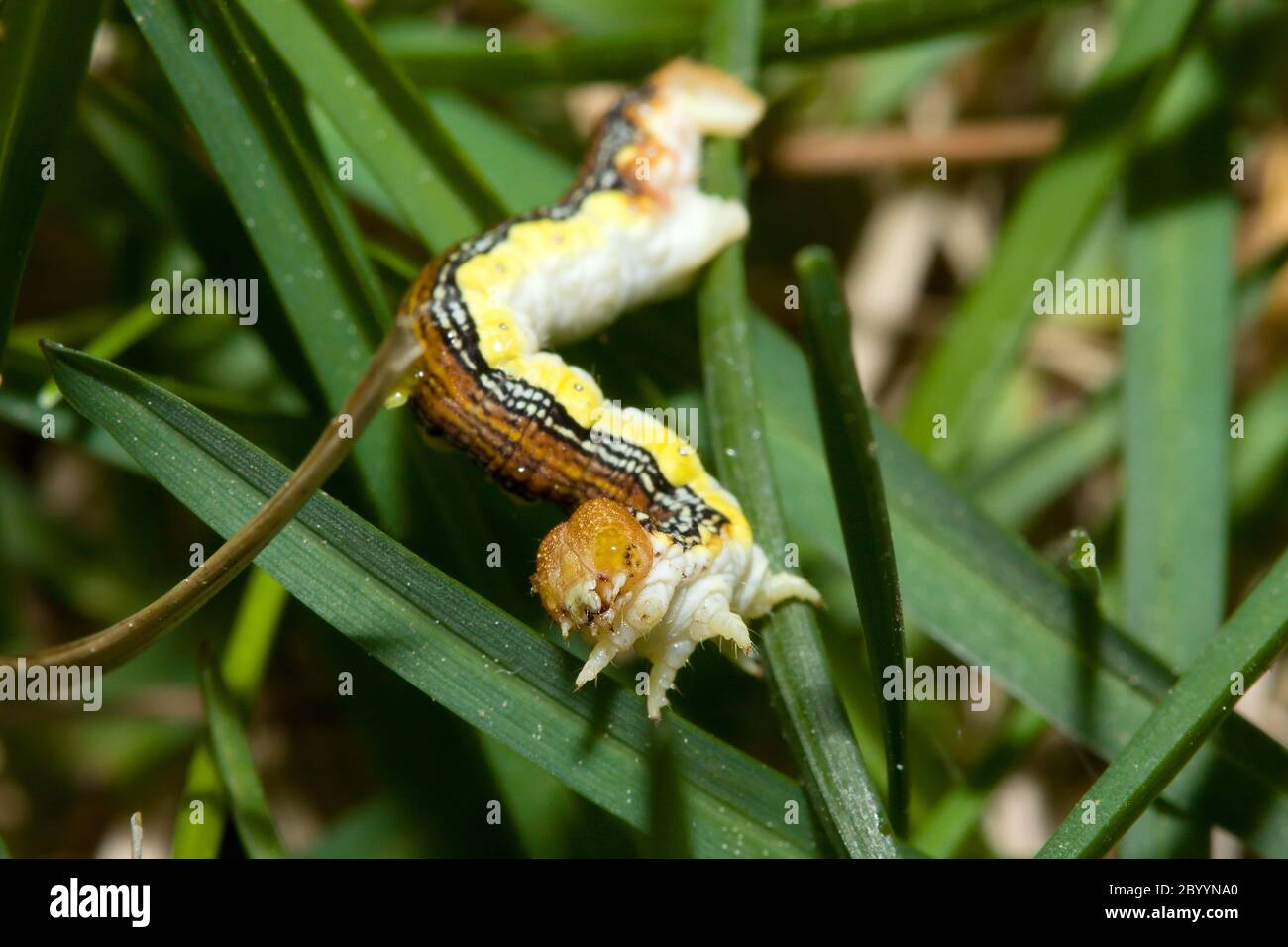 Inch Worm in the Grass Stock Photo