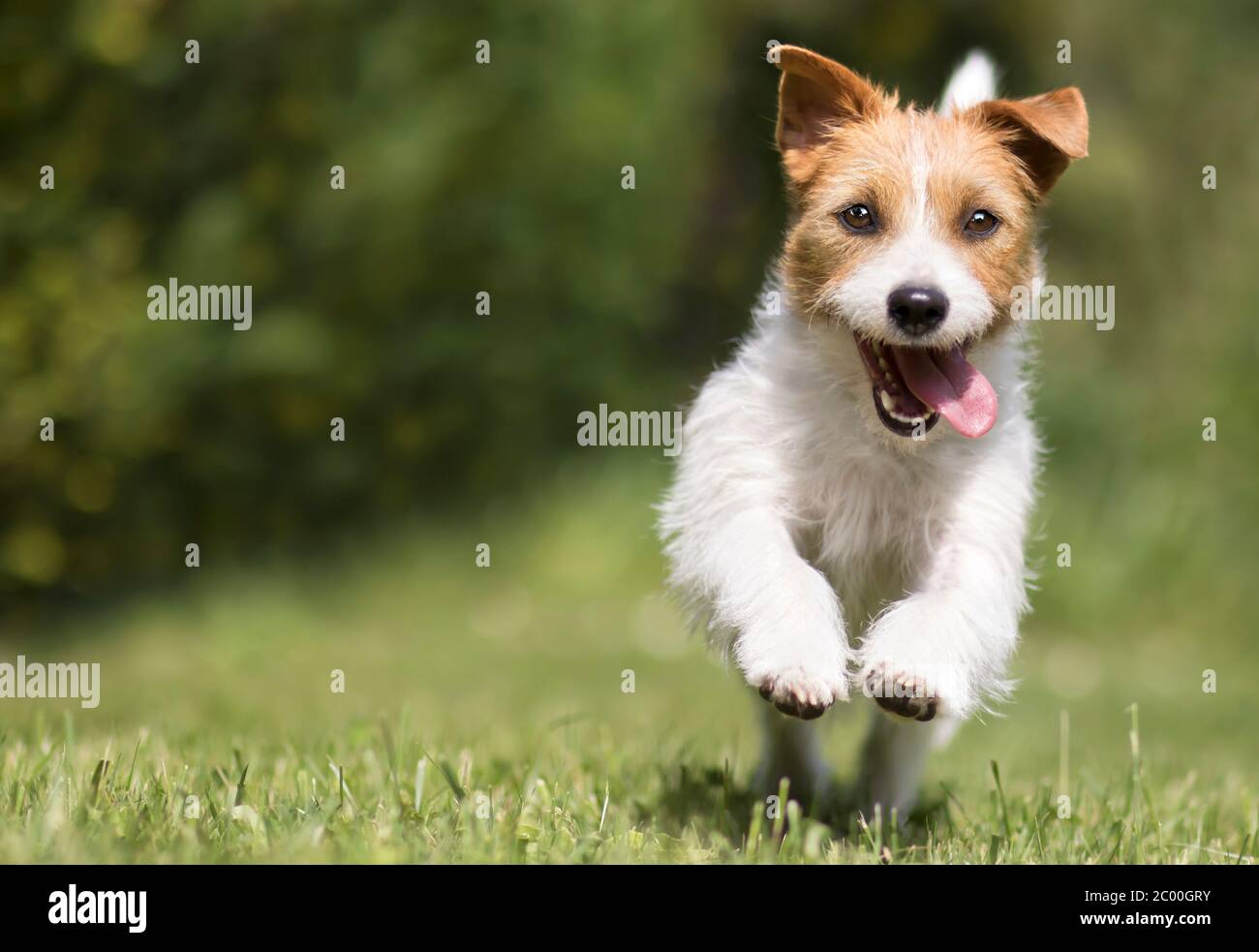 Funny Playful Happy Crazy Jack Russell Terrier Smiling Cute Pet Dog Puppy Running And Jumping In The Grass In Summer Stock Photo Alamy