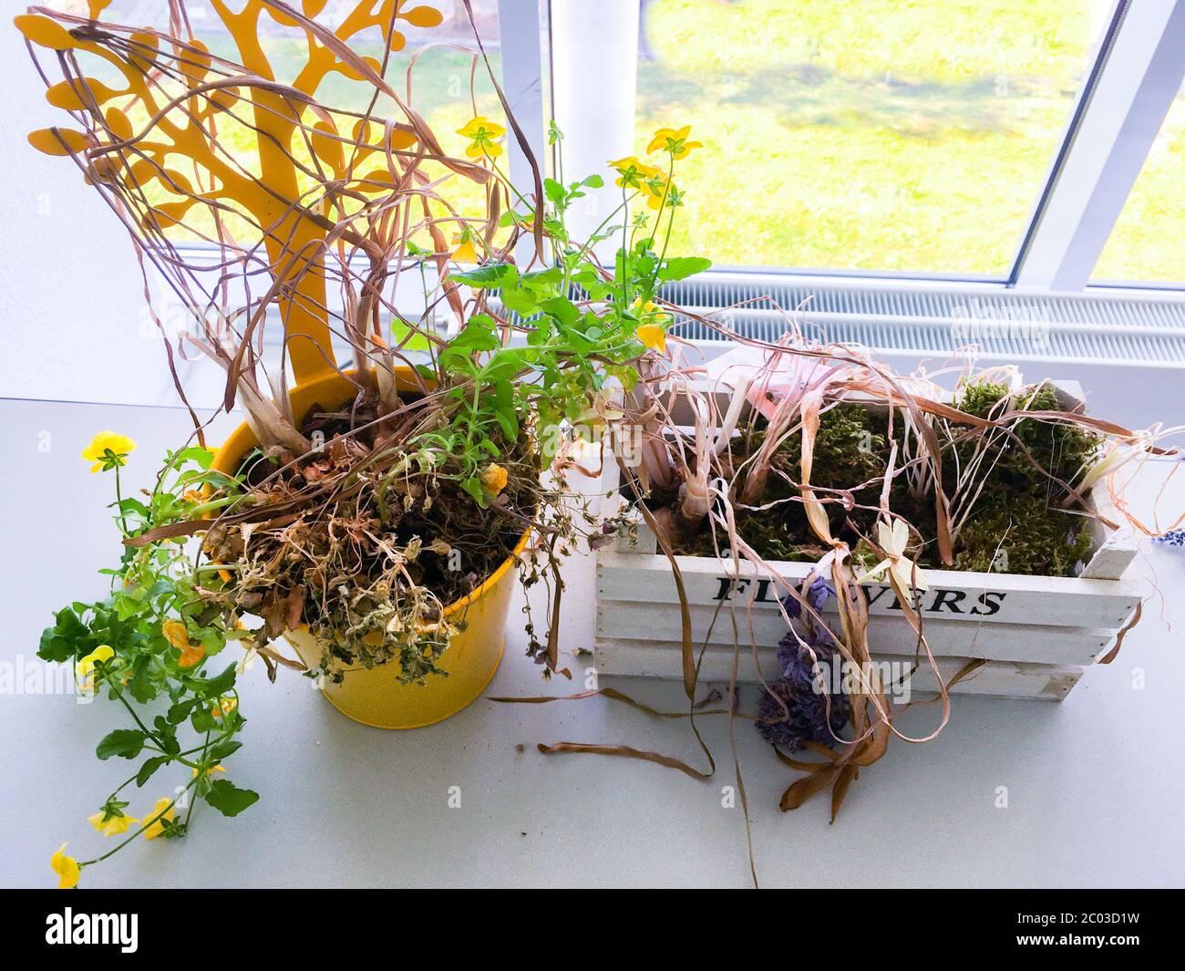 Zurück aus dem Homeoffice sind die Pflanzen im Büro vertrocknet Stock Photo