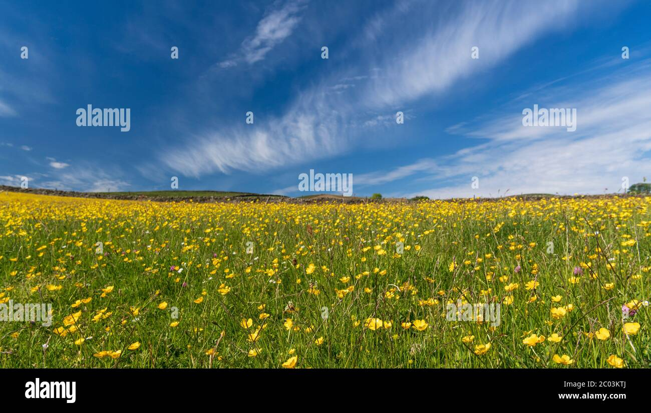 Wildflower meadow in full bloom set against a blue sky with white clouds. Wensleydale, North Yorkshire, UK. Stock Photo