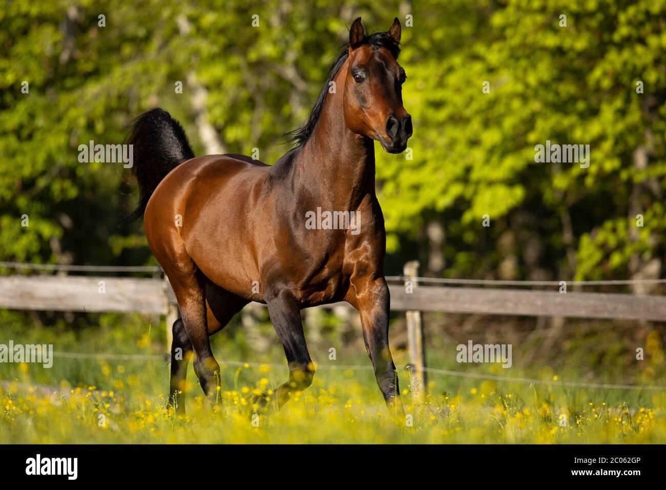 Brown Thoroughbred Arabian Stallion On The Pasture In Spring Tyrol Austria Stock Photo Alamy