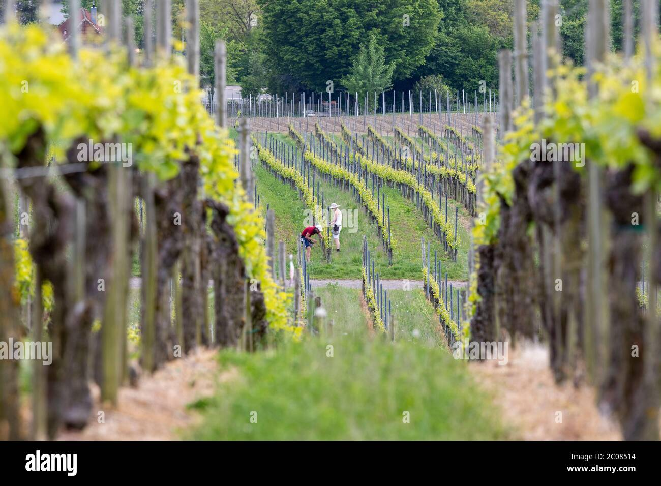 Weinanbau in der Erziehungsphase. Hagnau, 08.05.2020 Stock Photo