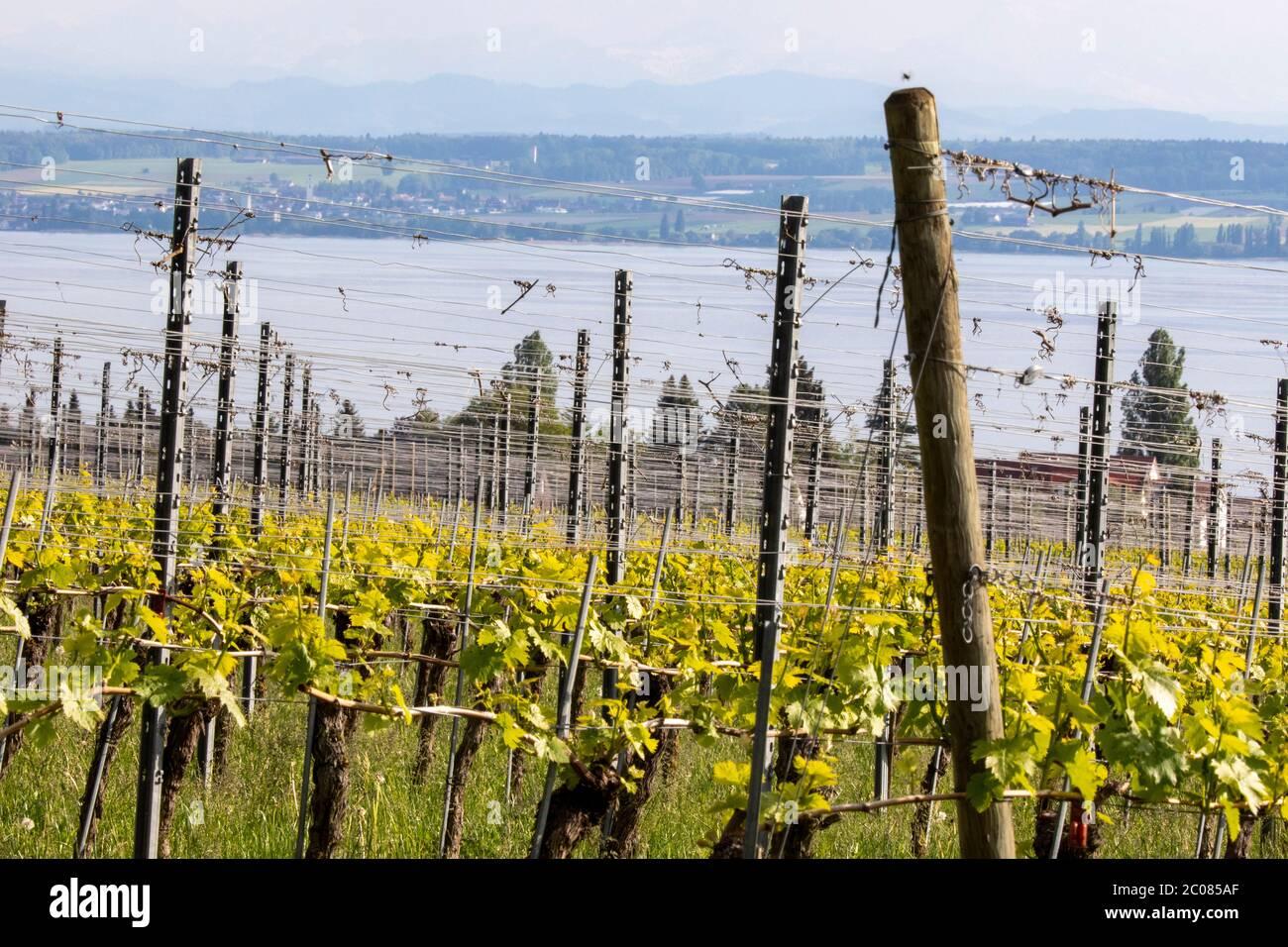 Weinanbau in der Erziehungsphase. Hagnau, 08.05.2020 Stock Photo