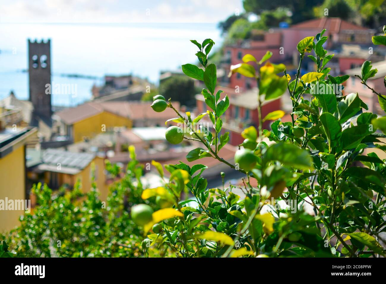 Lemons ripen on a tree in the colorful village of Cinque Terre Italy with the Chiesa di San Giovanni Battista, church and Ligurian sea blurred in view Stock Photo