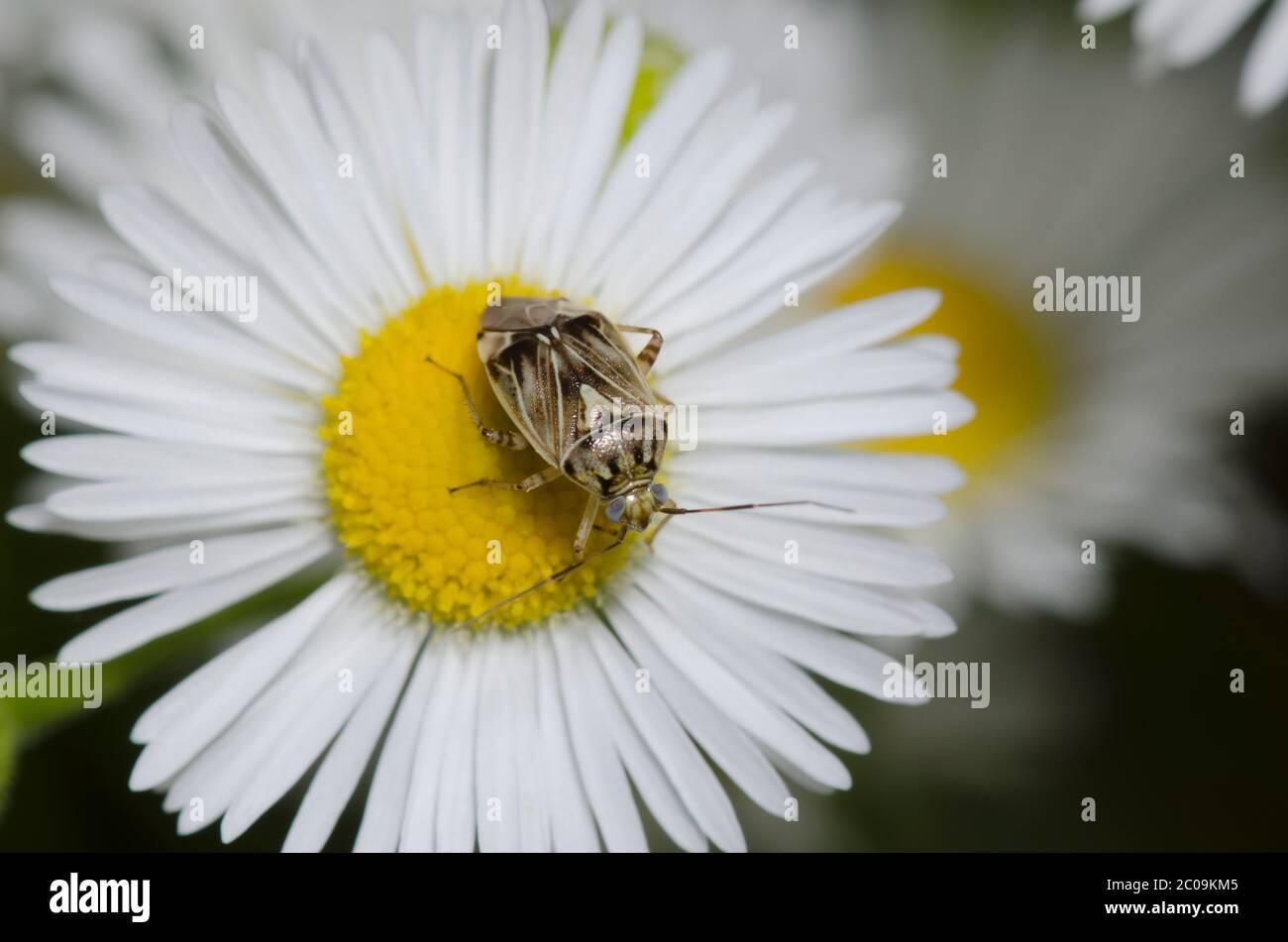 Plant Bug, Family Miridae, foraging on fleabane, Erigeron sp. Stock Photo