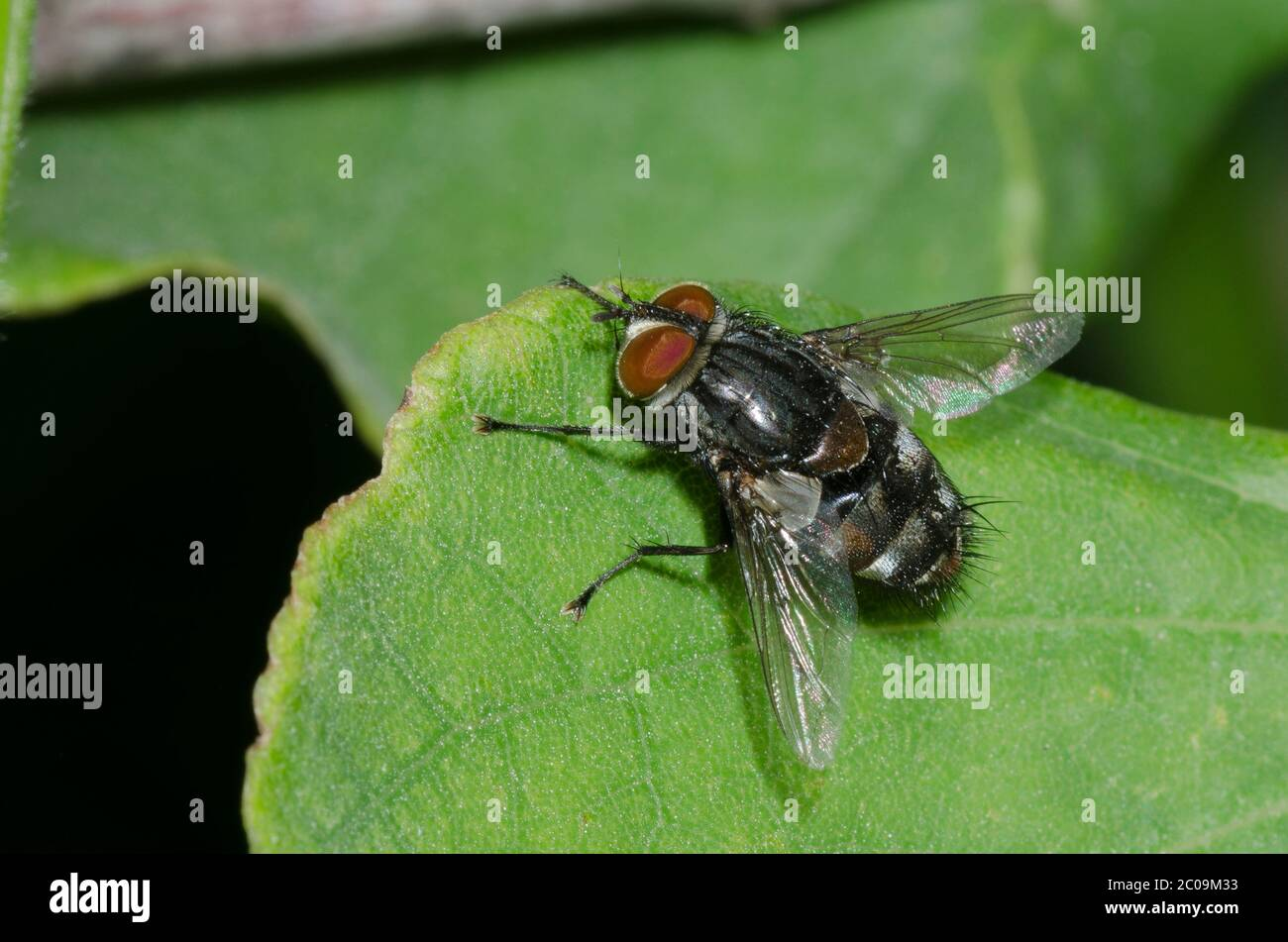 Tachinid Fly, Tribe Winthemiini Stock Photo