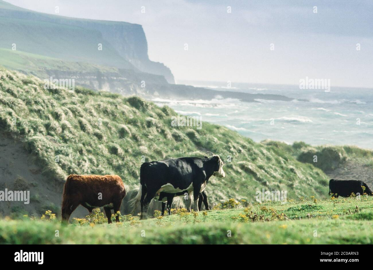 Cows in Eire Stock Photo