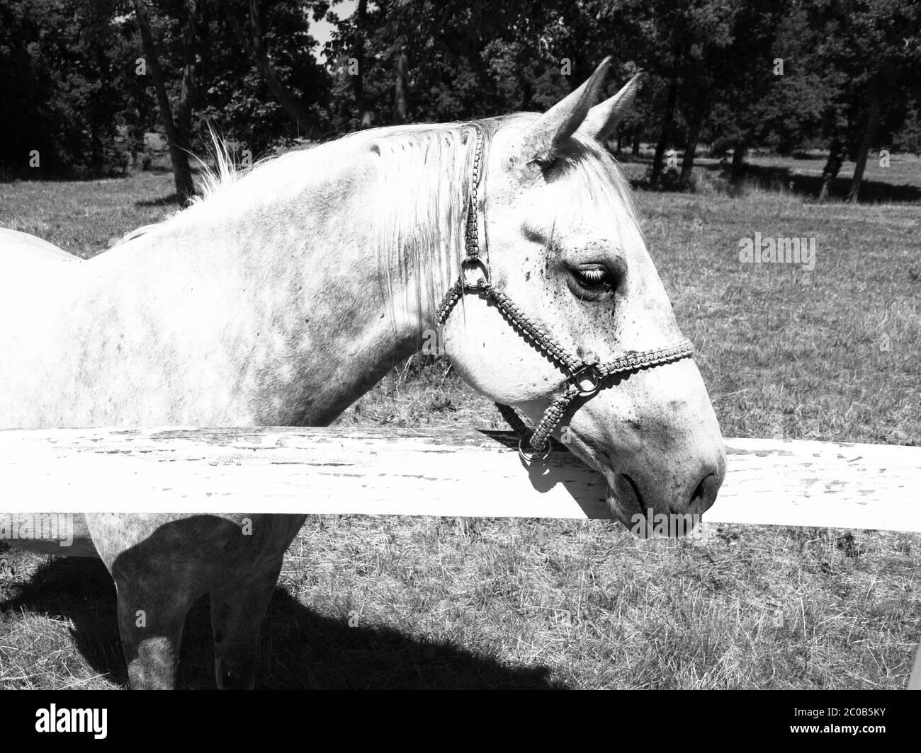 Portrait of white Lipizzaner stallion, Lipica, Slovenia, black and white image Stock Photo