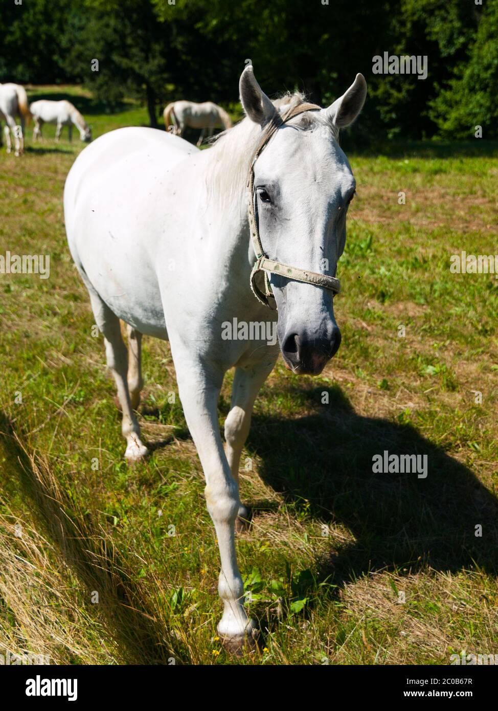 Portrait of white Lipizzaner stallion, Lipica, Slovenia Stock Photo