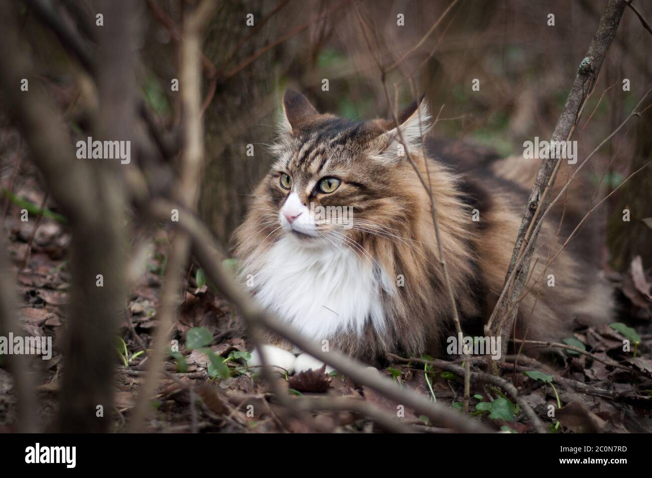 Brindle Cat High Resolution Stock Photography And Images Alamy