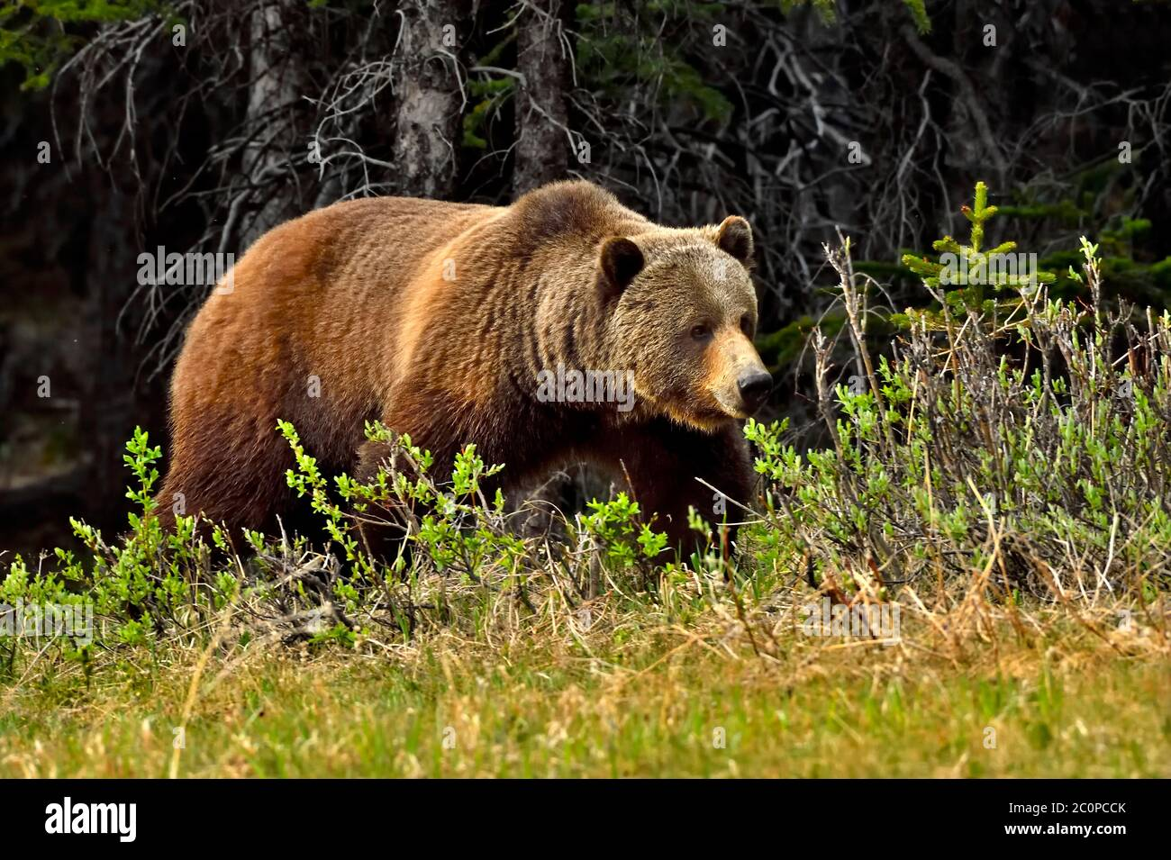 """An adult grizzly bear """"Ursus arctos"""", foraging along a wooded area in rural Alberta Canada Stock Photo"""