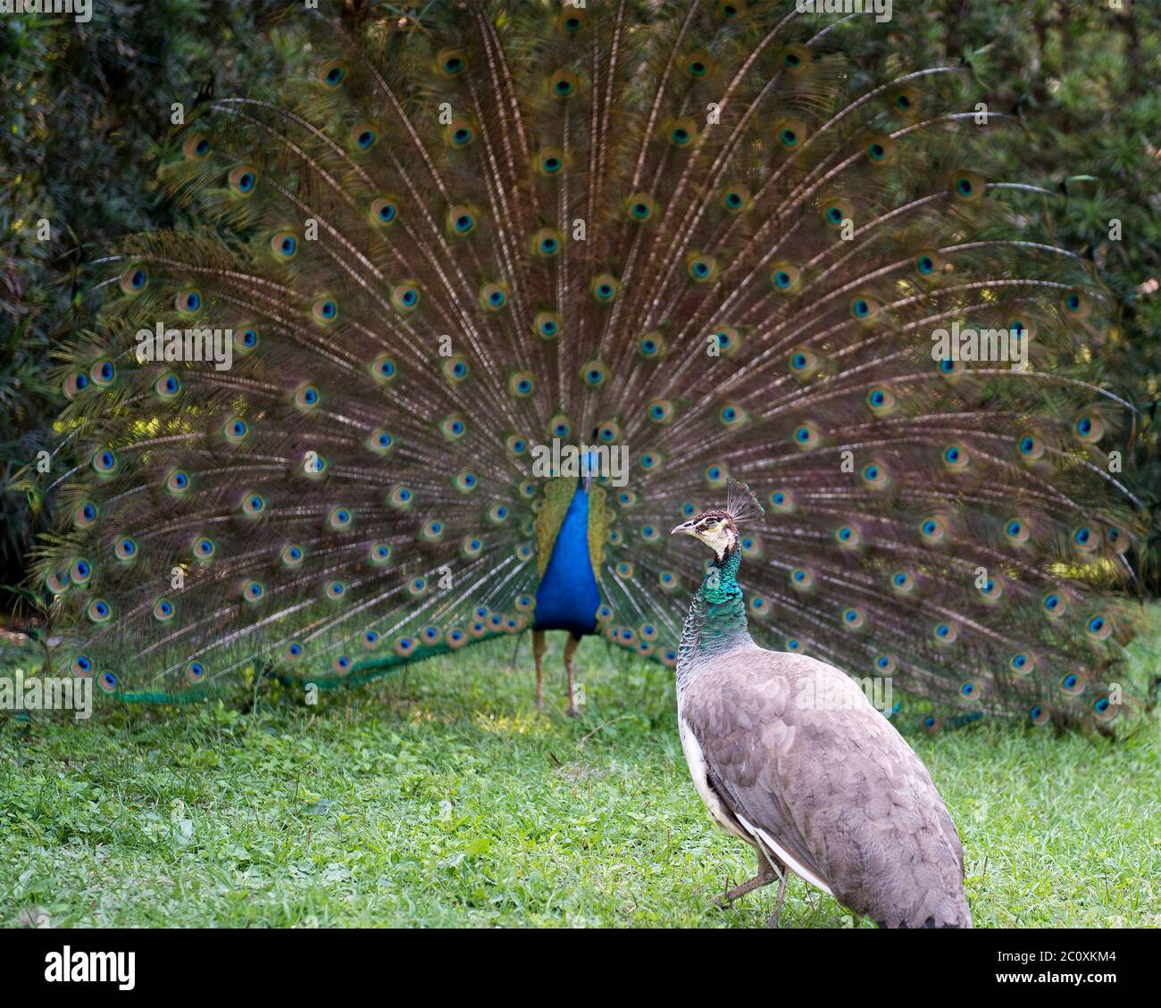 Peacock bird, the beautiful colorful bird in courtship with a female peacock present. Peacock bird displaying fold open elaborate fan with train shimm Stock Photo