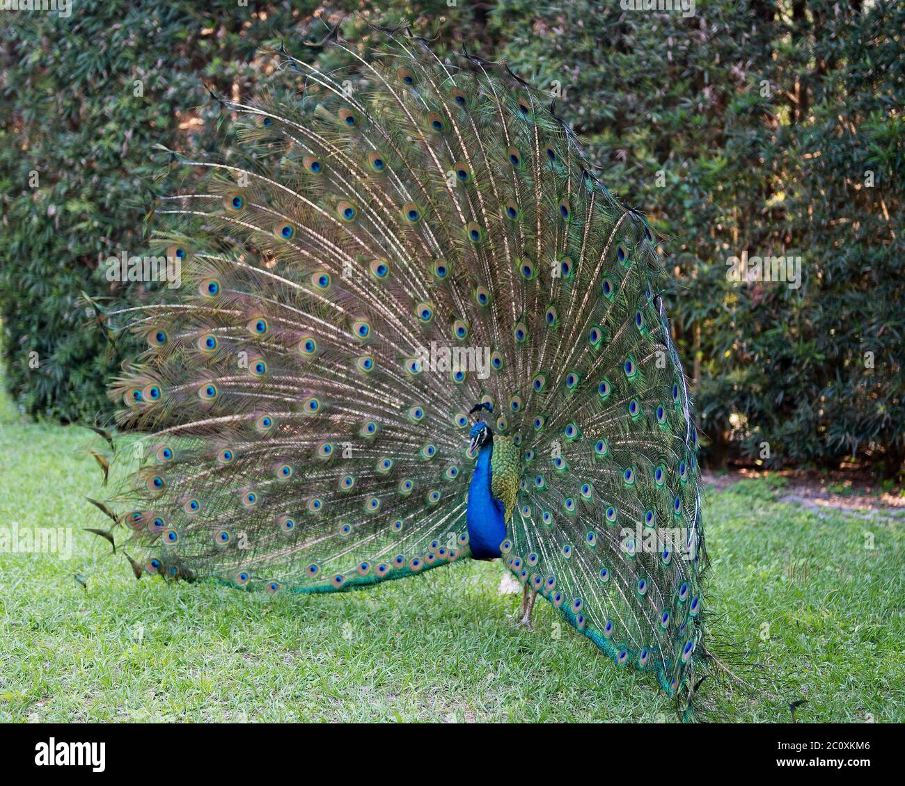 Peacock bird close-up profile, the beautiful colorful bird. Peacock bird displaying fold open elaborate fan with train shimmering feathers with blue-g Stock Photo