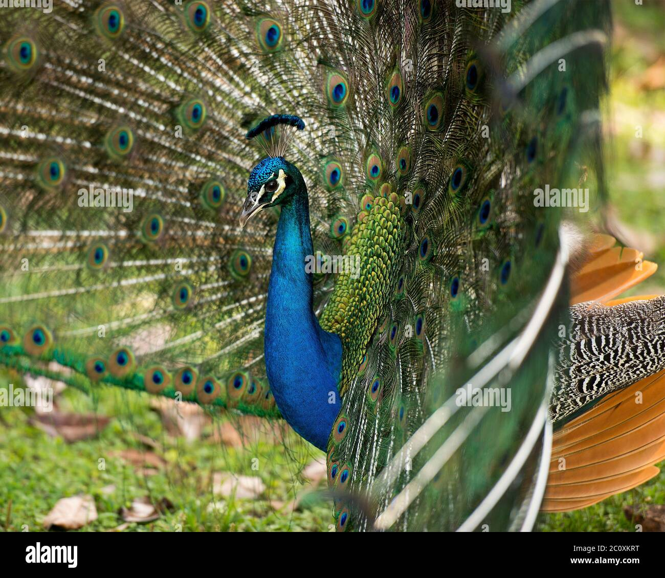 Peacock bird, the beautiful colorful bird. Peacock bird displaying fold open elaborate fan with train shimmering feathers with blue-green plumage with Stock Photo