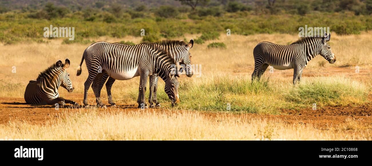 The zebra family is grazing in the savannah of Kenya in Samburu Stock Photo