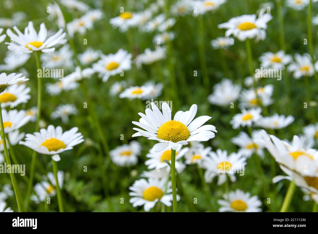 White daisy flowers blooming in spring Stock Photo