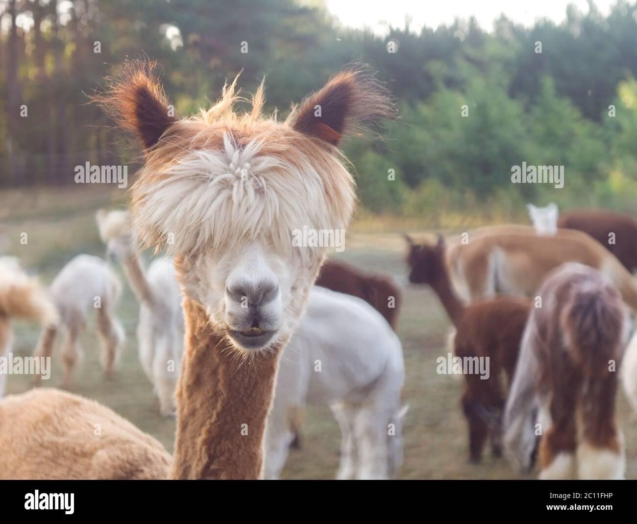 Beautiful alpaca (Vicugna pacos) living on farm Stock Photo