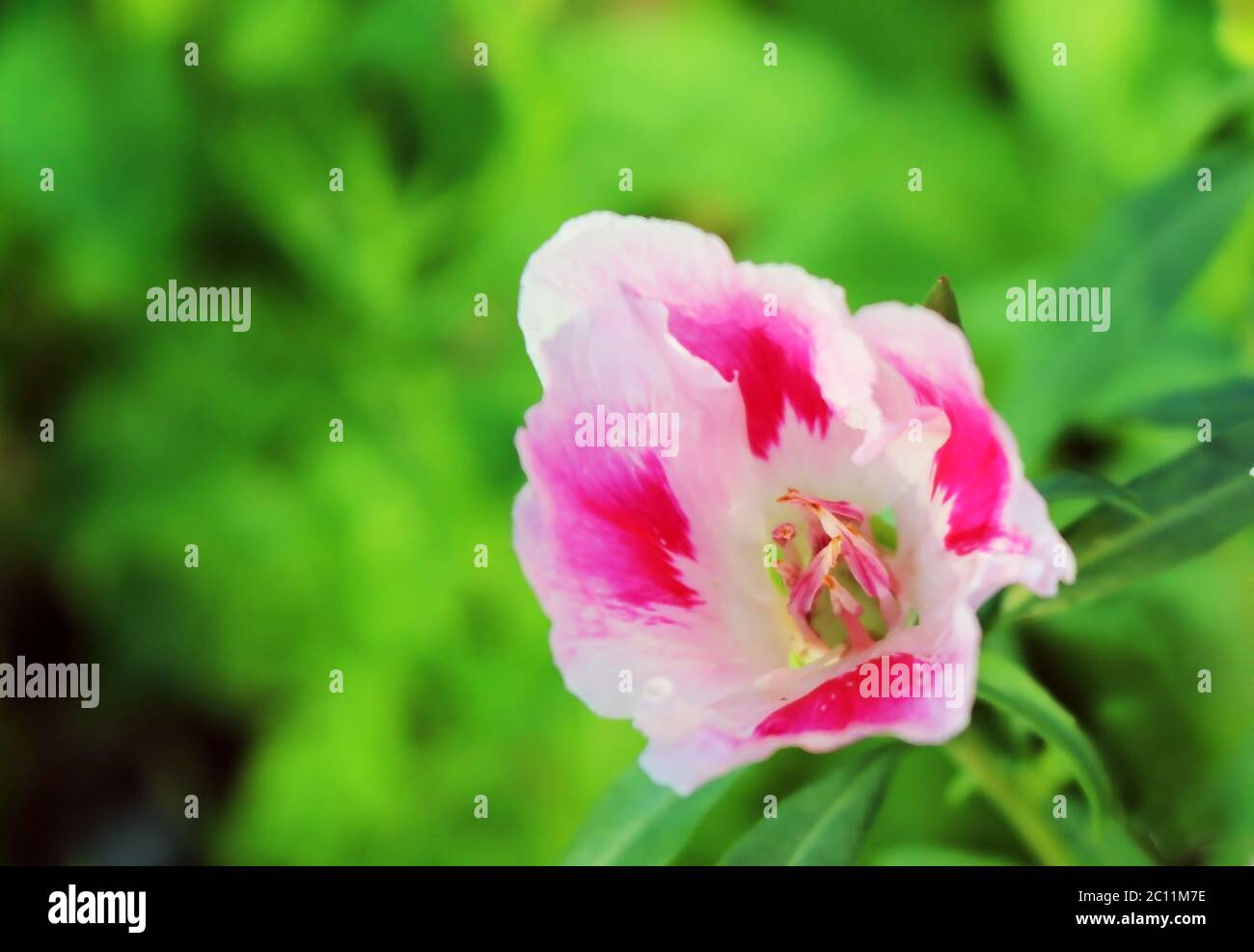 Godetia Flower High Resolution Stock Photography And Images Alamy