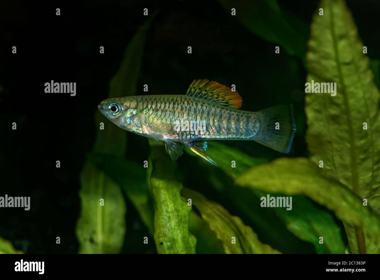 Portrait of livebearer fish (Brachyrhaphis roseni) in aquarium Stock Photo