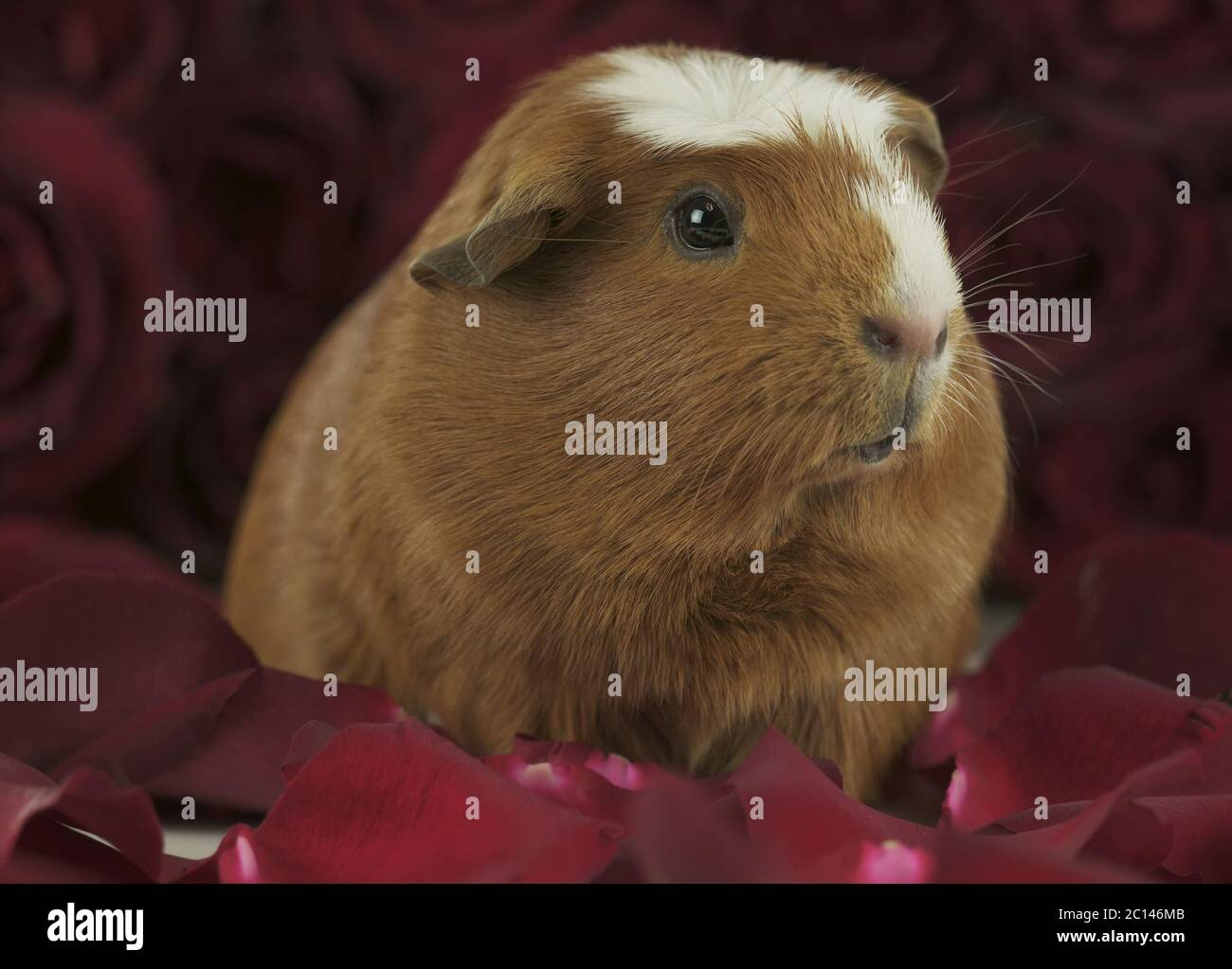 Crested Guinea Pig Red White High Resolution Stock Photography And Images Alamy