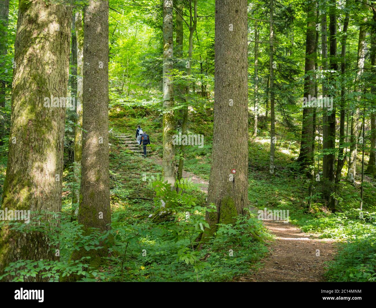 Young couple enjoying walking through dense Green forest protected Golubinjak Lokve Croatia Europe well beaten trail marked path amongst vegetation Stock Photo