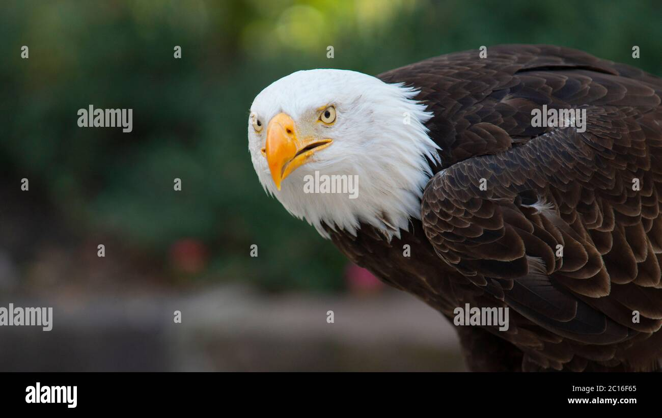 Approach to the head of an Bald Eagle seen from the side facing the camera with the background of unfocused trees. Scientific name: Haliaeetus leucoce Stock Photo