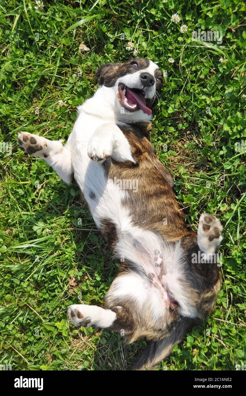Welsh Cardigan Corgi dog top view on grass Stock Photo