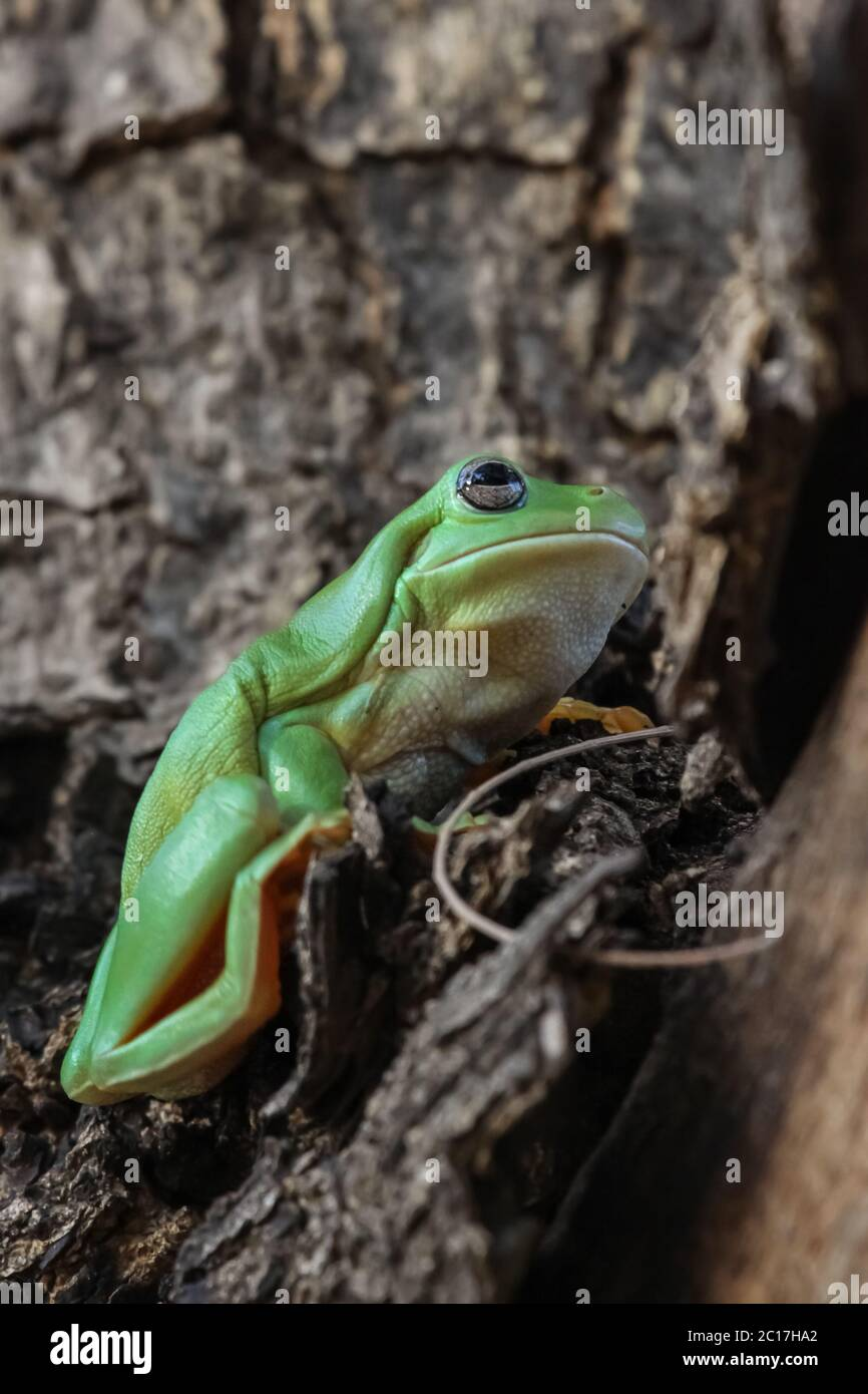 Close up of a Green tree frog sitting in a tree, Karumba, Queensland, Australia Stock Photo