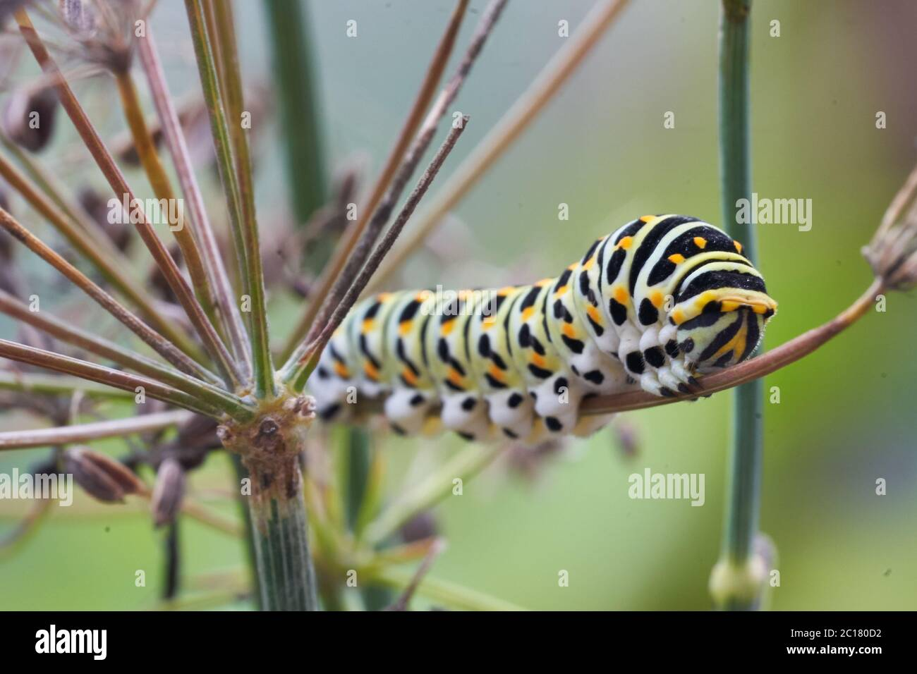 Papilio machaon Old World swallowtail butterfly Papilionidae yellow Caterpillar Portrait Macro Stock Photo