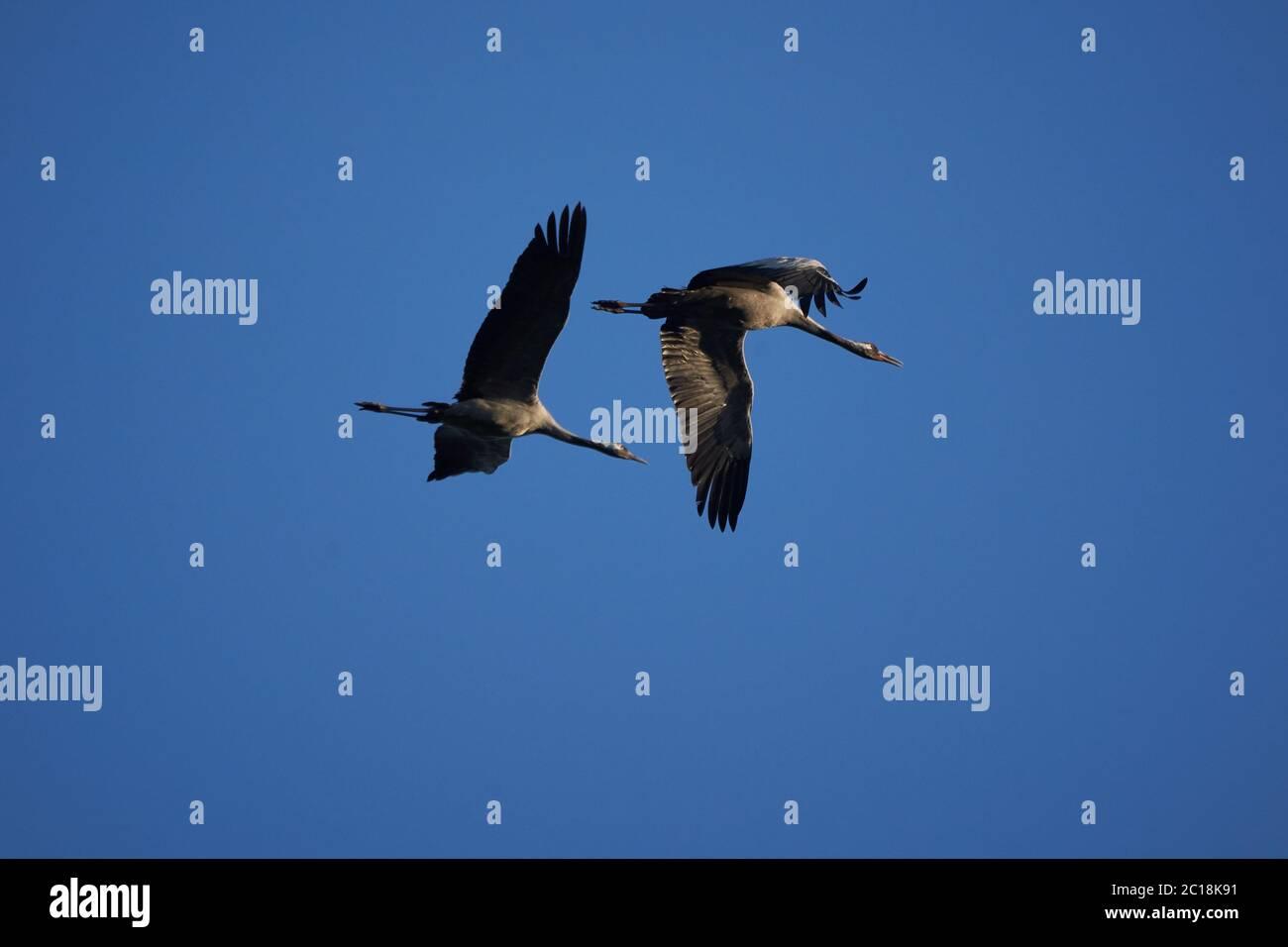 Common crane Grus grus also Eurasian crane in flight northern east Germany Stock Photo