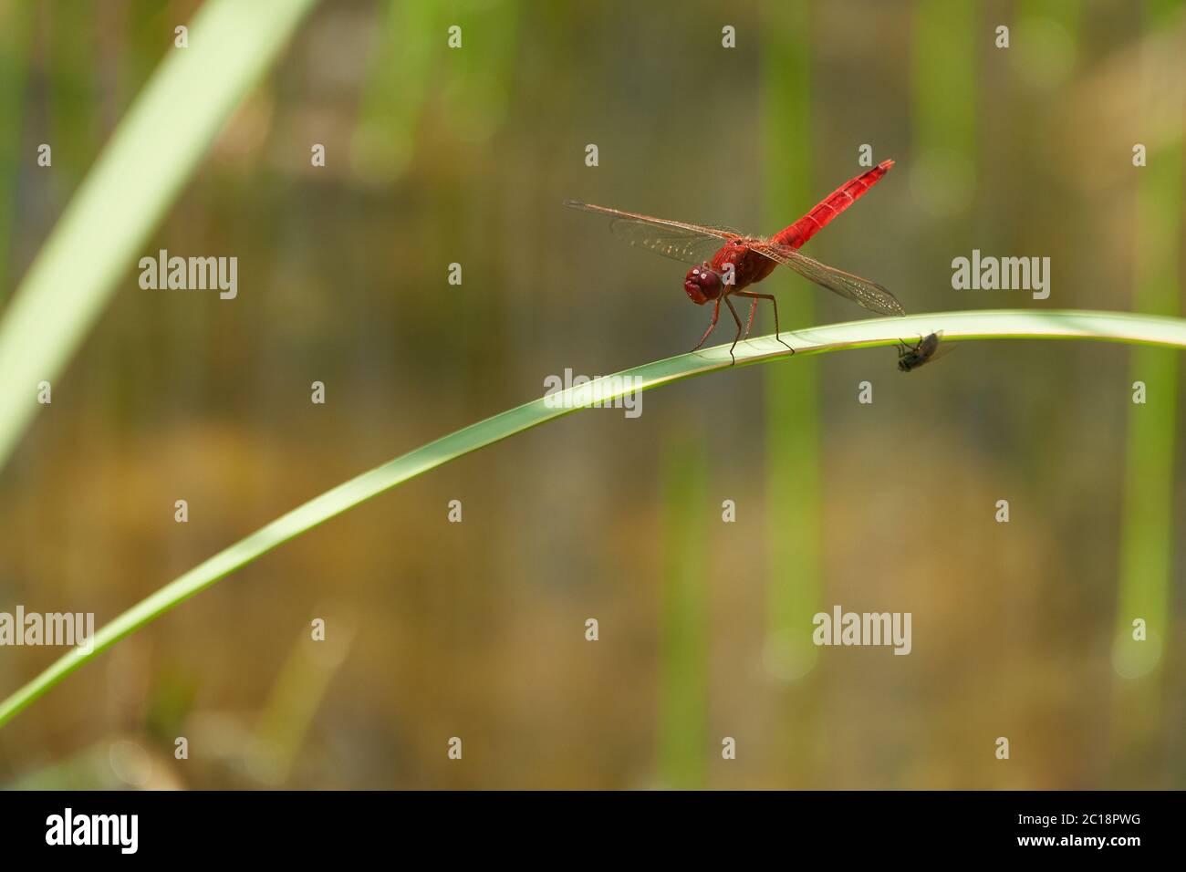 Crocothemis erythraea dragonfly Libellulidae broad scarlet darter Stock Photo