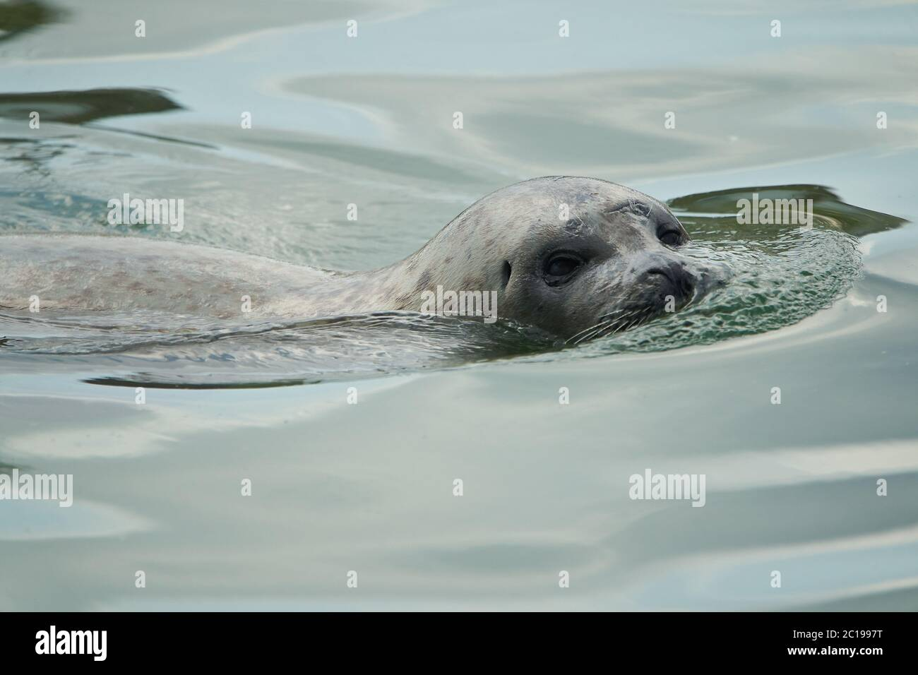harbor or harbour seal Phoca vitulina also common seal and true seal  Stock Photo