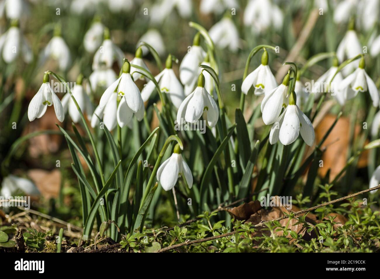 A clump of wild snowdrops, latin name galanthus, flowering in mid February. Welford Park, near Newbury, Berkshire. Stock Photo
