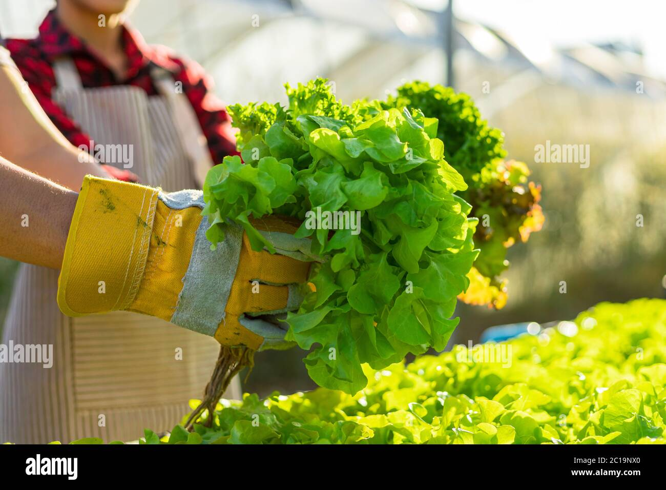 farmer ware agricultural gloves keep vegetable at hydroponic farm and observing growth vegetable meticulously before delivered to the customer. organi Stock Photo