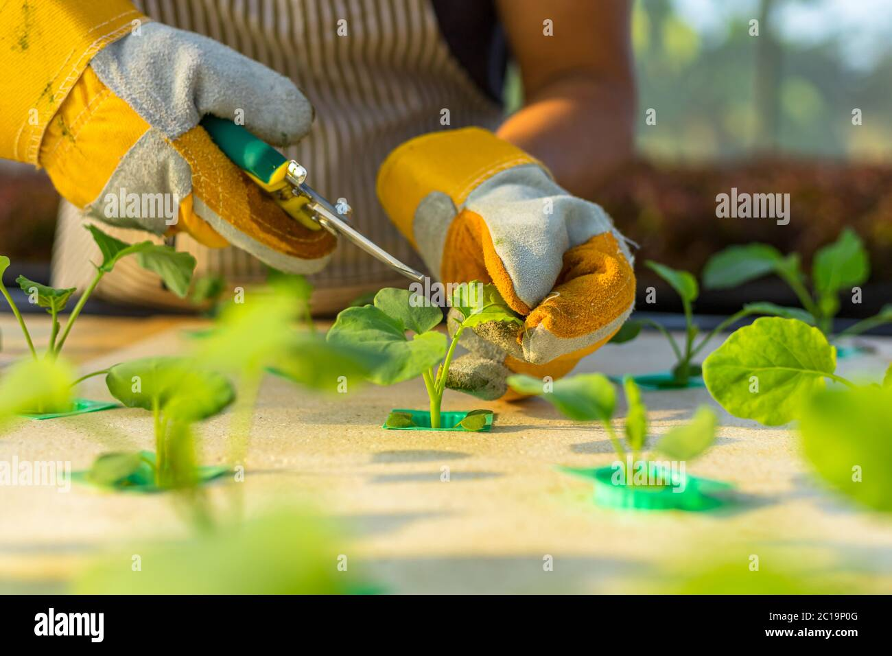 farmer ware agricultural gloves and use  pruning shears at hydroponic farm and observing growth vegetable meticulously before delivered to the custome Stock Photo